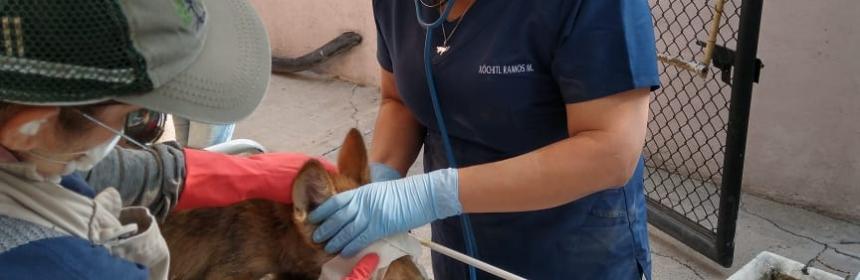 Nace camada de lobos mexicanos en Zoológico de San Juan de Aragón